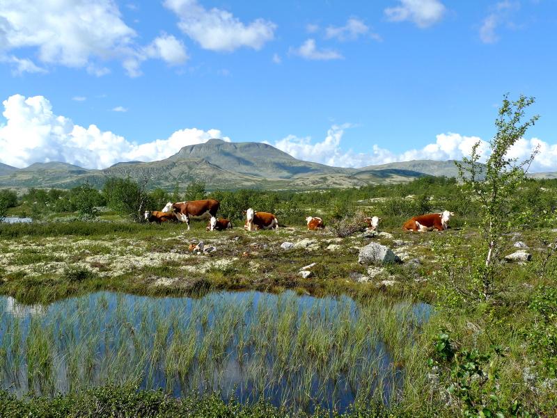 Kuer på beite i Alvdal Vestfjell