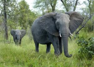 Elefanteri flokker på flere enn ti opplevde vi to ganger, den ene gangen like ved der vi bodde.
