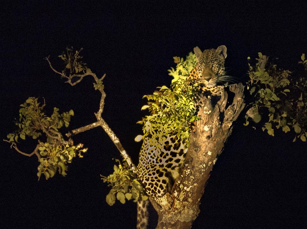 Den afrikanske natten er bekmørk, og det er en spesiell opplevelse å få se en leopard i et tre, bare et par meter unna, i lyset av en håndlampe.