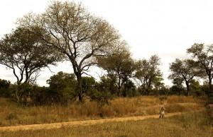 Dyrene lever naturlig og beveger seg fritt på store områder.