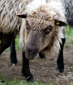 GAMMELNORSK SPELSAU: Barske og vakre dyr som vekker oss med sprø ringling fra mange titalls messingbjeller tidlig på morgenen.